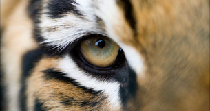 Full frame extreme close up of Bengal tiger eye and stripesの写真素材 [FYI02702988]