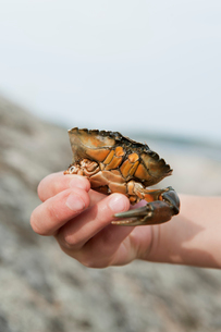 Sweden, Halland, Onsala, Girl (6-7) holding crab in handの写真素材 [FYI02703182]