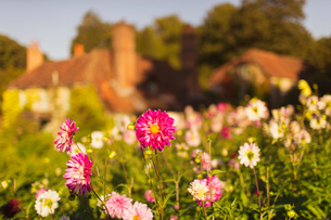 Pink and white flowers growing in sunny gardenの写真素材 [FYI02703242]