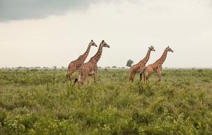 Africa, Tanzania, Mikumi national park, Giraffes (Giraffa camelopardalis) in savannahの写真素材 [FYI02703250]