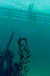 USA, California, Cayucos, View of algae under water in Pacific Oceanの写真素材 [FYI02703707]