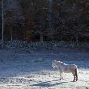 Sweden, Skane, Vanga, Horse sanding in snowy meadowの写真素材 [FYI02703837]