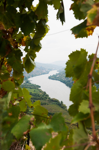 Portugal, Douro Valley, Grape vines in autumnの写真素材 [FYI02703842]
