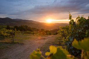 Italy, Tuscany, Dicomano, Landscape of vineyard at sunsetの写真素材 [FYI02703962]