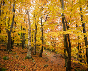 Sweden, Skane, Stenshuvud National Park, Autumn forest with yellow leavesの写真素材 [FYI02703968]
