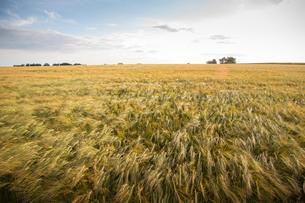 Sweden, Skane, Soderslatt, Beddinge, Tranquil view of rye fieldの写真素材 [FYI02704061]