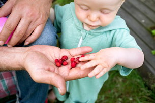 Sweden, Smaland, Baby boy (12-17 months) taking wild strawberry from grandfather's handの写真素材 [FYI02704260]