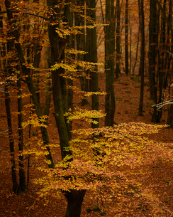 Sweden, Skane, Soderasens National Park, Forest in autumnの写真素材 [FYI02704336]