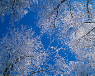 Sweden, Low-angle view of maple trees (Acer platanoides) in winterの写真素材 [FYI02704607]