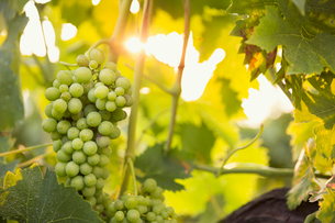 Italy, Tuscany, Dicomano, Close-up of bunch of grapes in vineyardの写真素材 [FYI02704611]