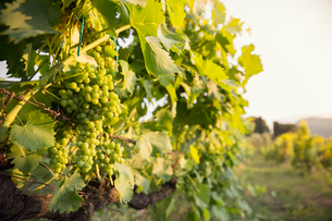 Italy, Tuscany, Dicomano, Close-up of bunch of grapes in vineyardの写真素材 [FYI02704685]