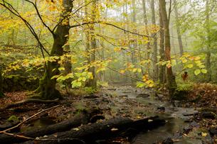 Sweden, Skane, Soderasens National Park, Klova Hallar, Stream in autumn forestの写真素材 [FYI02704705]
