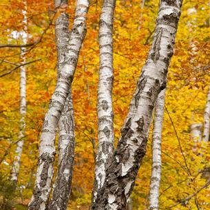 Sweden, Skane, Soderasen, Close-up of tree trunks in national park in autumnの写真素材 [FYI02704725]