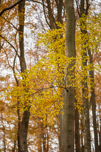 Sweden, Skane, Soderasens National Park, Yellow leaves on tree in autumnの写真素材 [FYI02704771]