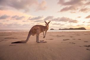 Australia, Queensland, Cape Hillsbourgh, Kangaroo (Macropus) on beach at sunsetの写真素材 [FYI02704779]