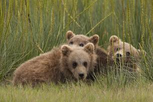 Brown bear cubs, Lake Clark National Park, Alaska, USAの写真素材 [FYI02705193]