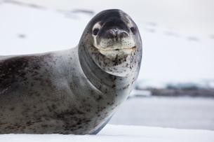 Leopard seal, Antarcticaの写真素材 [FYI02705196]
