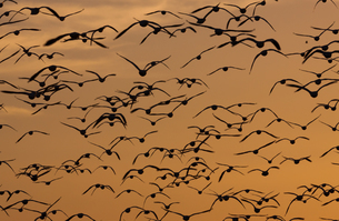 Snow geese, in a wildlife refuge, New Mexico, USAの写真素材 [FYI02705211]