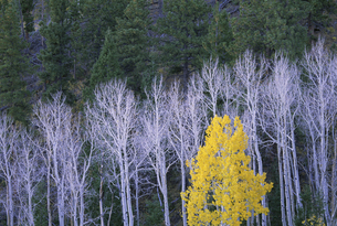 Aspen trees, with yellow brown foliage, and pine treesの写真素材 [FYI02705260]