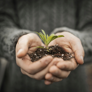 A person holding a small plant seedling in his cupped hands.の写真素材 [FYI02705286]