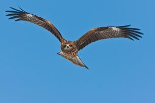 Common buzzard in flight, Hokkaido, Japanの写真素材 [FYI02705320]
