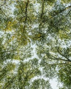 Green forest canopy, branches of Big leaf maple and alderの写真素材 [FYI02705430]