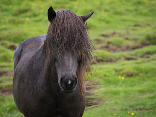 An Icelandic horse with dark coat and long black mane. Front view.の写真素材 [FYI02705432]
