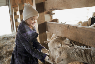 A child in the animal shed letting sheep feed from a hand.の写真素材 [FYI02705451]