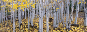 The Dixie national forest with aspen trees in autumn.の写真素材 [FYI02705452]