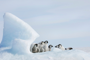 A nursery group of young penguin chicks, huddledの写真素材 [FYI02705556]