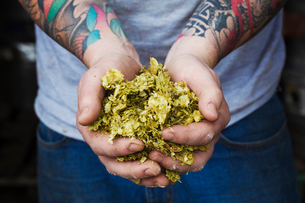 Close up of person standing in a brewery, holding some hops, tattooed arms.の写真素材 [FYI02705649]