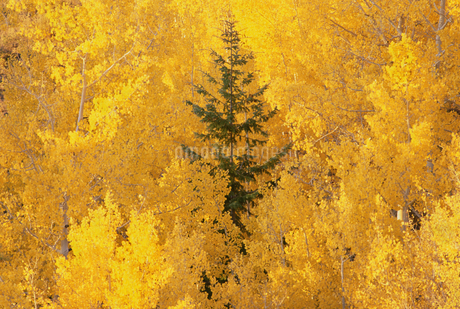 Elevated view over the tops of the aspen treesの写真素材 [FYI02705726]