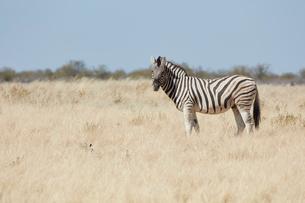 A Burchell's zebra, Equus quagga burchellii, standing in grassland.の写真素材 [FYI02705786]