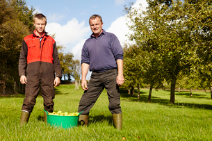 A father and son working in a family business, harvesting cider apples in an orchard.の写真素材 [FYI02705846]