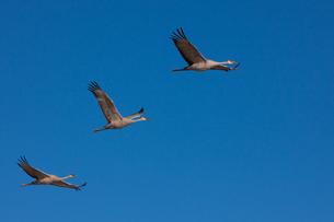 Sandhill cranes, New Mexico, USAの写真素材 [FYI02705940]