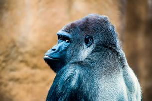 Gorilla at Los Angles Zooの写真素材 [FYI02705997]