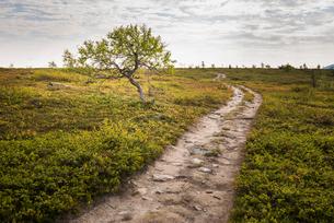 Dirt road through field in Lapland, Swedenの写真素材 [FYI02706049]