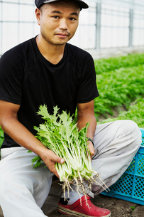 A young man working in a greenhouse holding harvested mizuna plants, Japanese greensの写真素材 [FYI02706079]