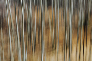 Aspen trees with pale tree trunks in woodland. Blurred motion.の写真素材 [FYI02706090]