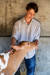 Young man standing in a barn, stroking Guernsey calf.の写真素材 [FYI02706137]