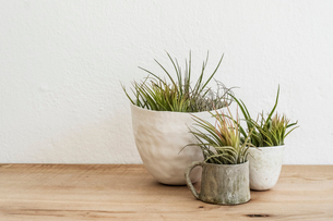 Close up of three varieties of air plants in terracotta pots on a wooden shelf.の写真素材 [FYI02706160]