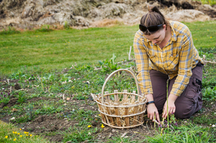Woman kneeling in a garden, harvesting spears of green asparagus with a knife, a basket beside her.の写真素材 [FYI02706161]