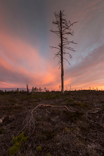 Bare tree at sunset in Vasterbotten, Swedenの写真素材 [FYI02706355]