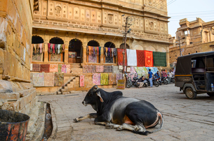 A holy cow lying down in the street in Jaisalmer, India.の写真素材 [FYI02706372]