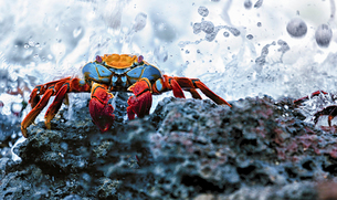 Sally Lightfoot Crab, Grapsus grapsus found in the Galapagos Islands.の写真素材 [FYI02706406]