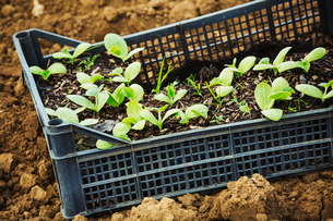 A crate of seedlings ready to be planted out.の写真素材 [FYI02706418]