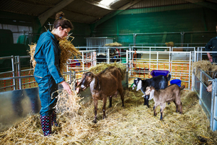 Woman in a stable with goats, scattering straw on the floor.の写真素材 [FYI02706554]