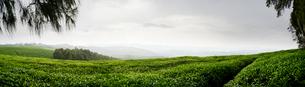 Panoramic of Nyungwe Forest in Rwandaの写真素材 [FYI02706565]