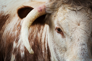 Close up of the head and horn of an English Longhorn cattle.の写真素材 [FYI02706603]