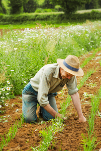A man kneeling down tending a row of small plants in a field.の写真素材 [FYI02706716]